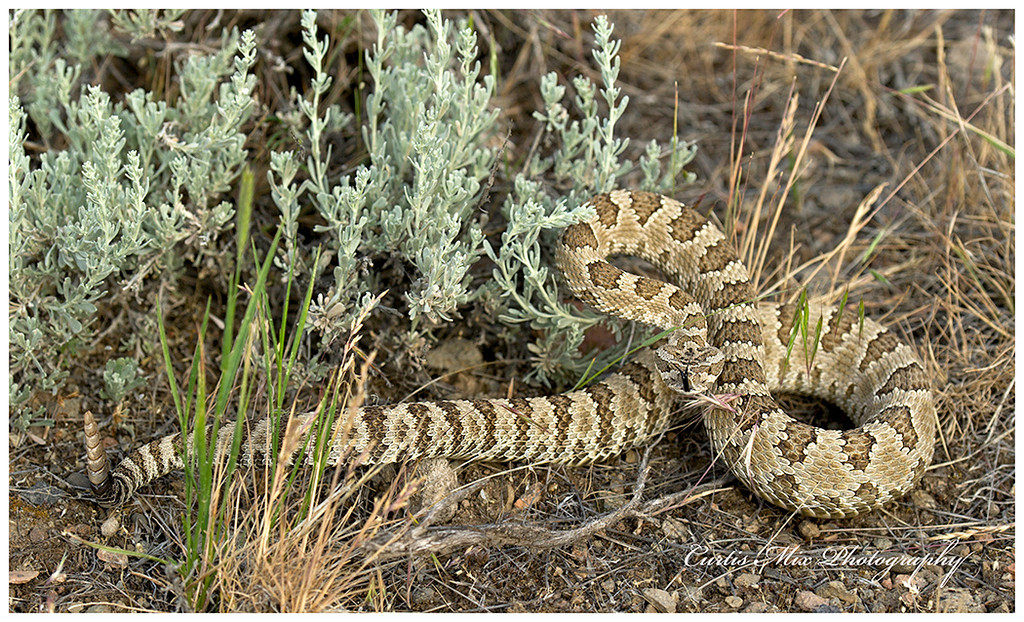 Rattlesnakes in Oregon. The authorities claim there is only one poisonous snake in Oregon, the Western Rattlesnake with two sub species, the Great Basin and  North Pacific Rattlesnakes. This is the Great Basin Rattlesnake.