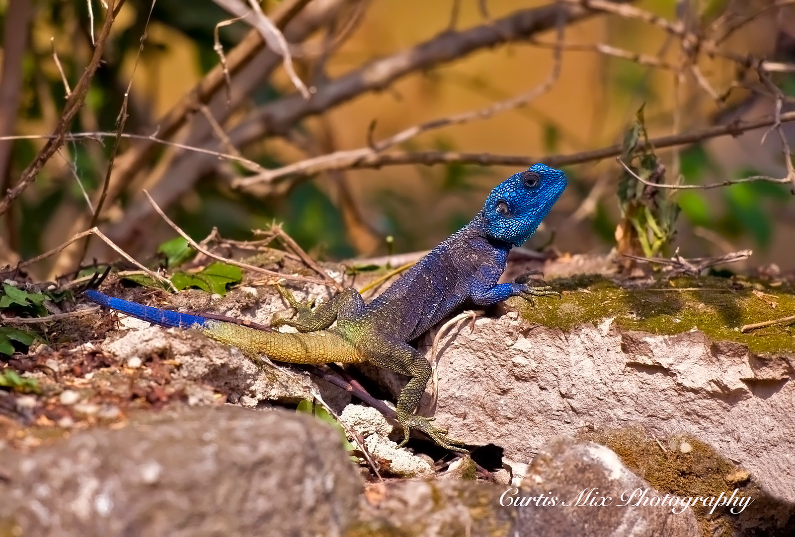 Blue headed Tree Igama, Queen Elizabeth National Park, Uganda, Africa.