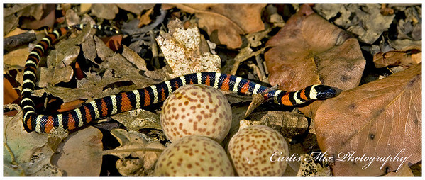California Mountain Kingsnake, Oregon.
