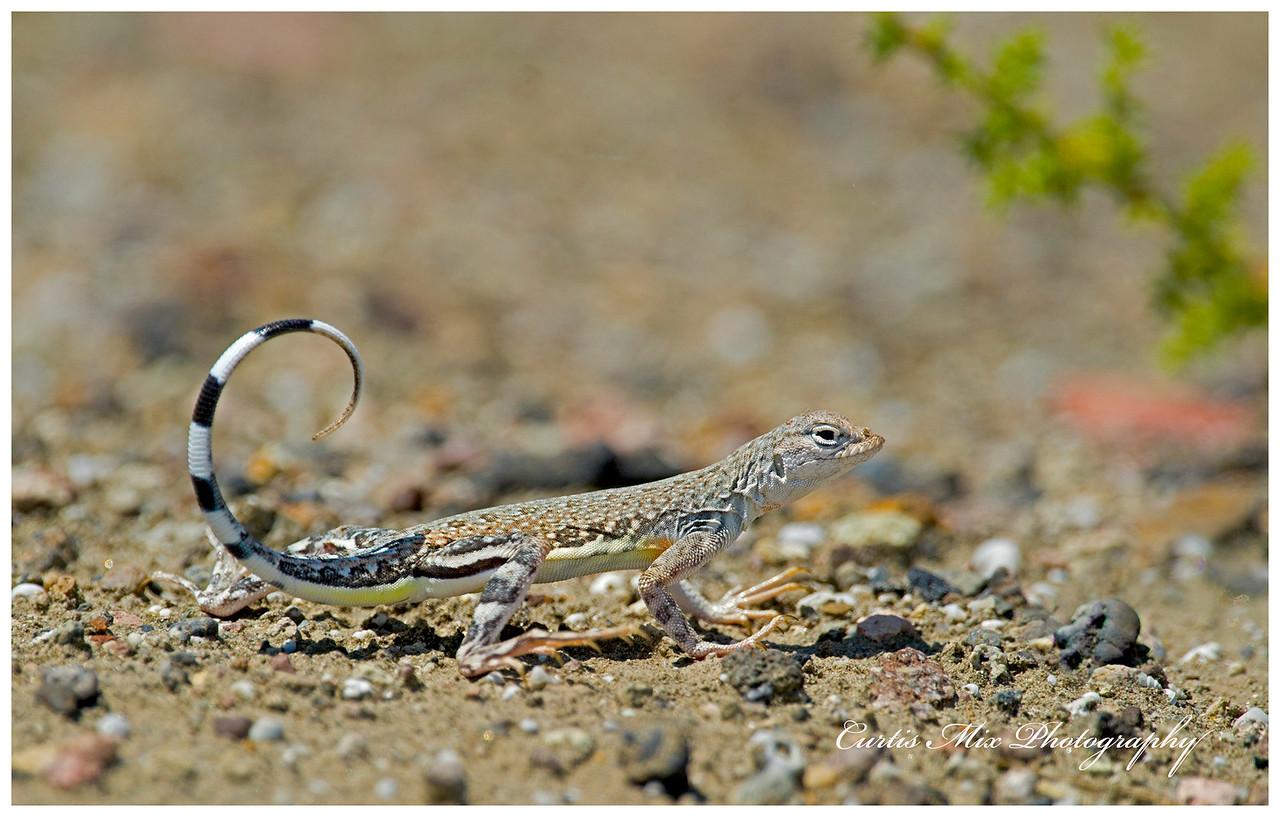 Zebra-tailed Lizard, Nevada.