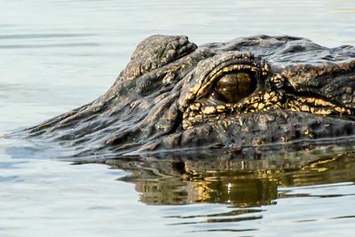 Florida Gator Study 13