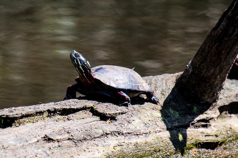Turtles-32