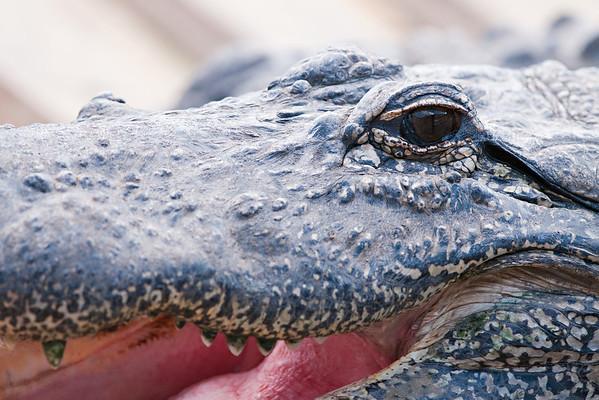 American Alligator, Orlando