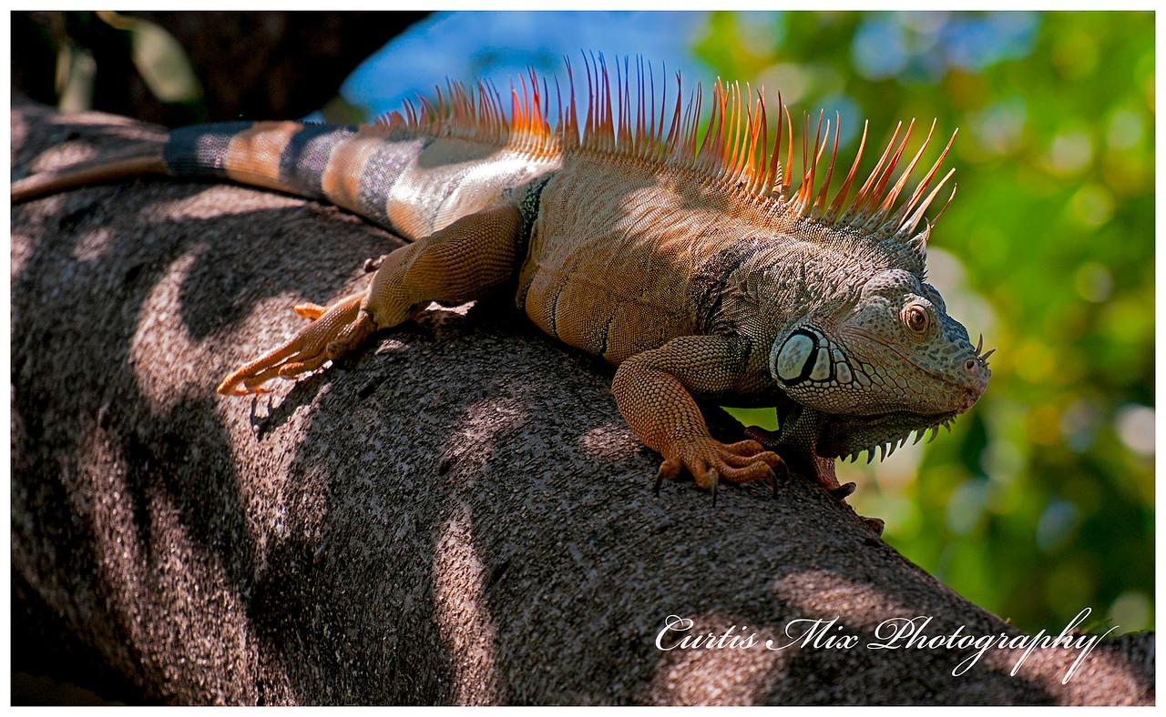 Green Iguana, Jalisco, Mexico.