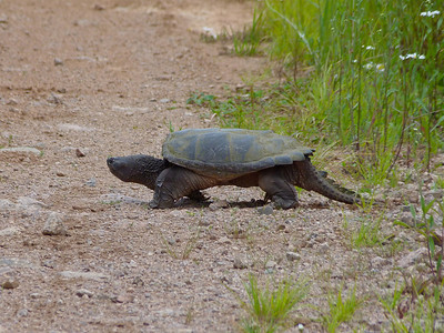 Snapping Turtle looking for a nest site.