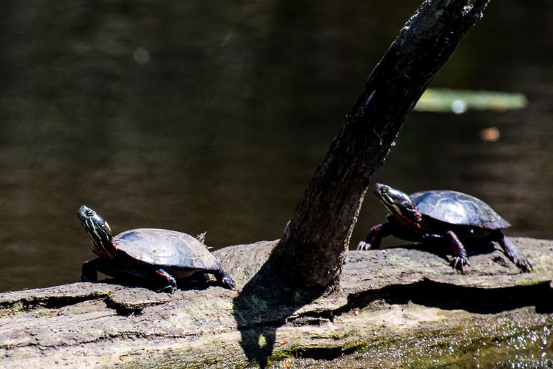 Turtles-29
