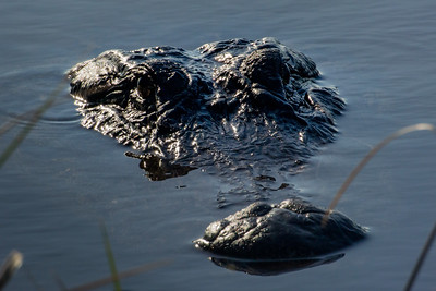 Florida Gator Study 15