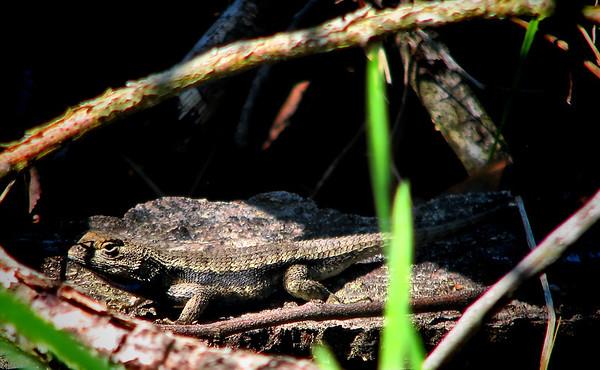 Texas spiny lizard (Sceloporus olivaceus) (20140408_09865)