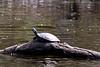 Turtles-9