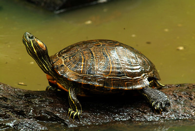 Red-eared slider turtle photographed at Jesse Jones Park, Harris County, TX