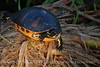 Red-bellied turtle, Wacky FL