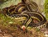 Eastern Garter Snake<br /> Eastern Garter Snake, Mountain Meadows, Bedford County, PA