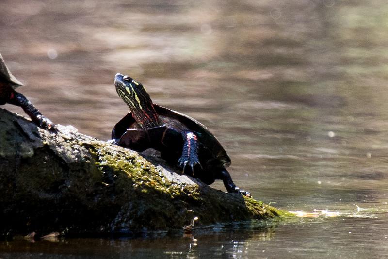 Turtles-24