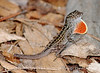 Brown Anole, S Florida (1)
