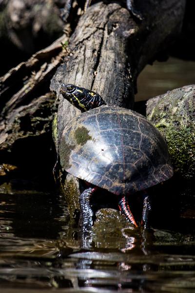 Turtle p