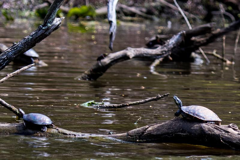 Turtles-12