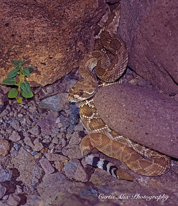 Red Diamond Rattelsnake, BCS, Mexico.