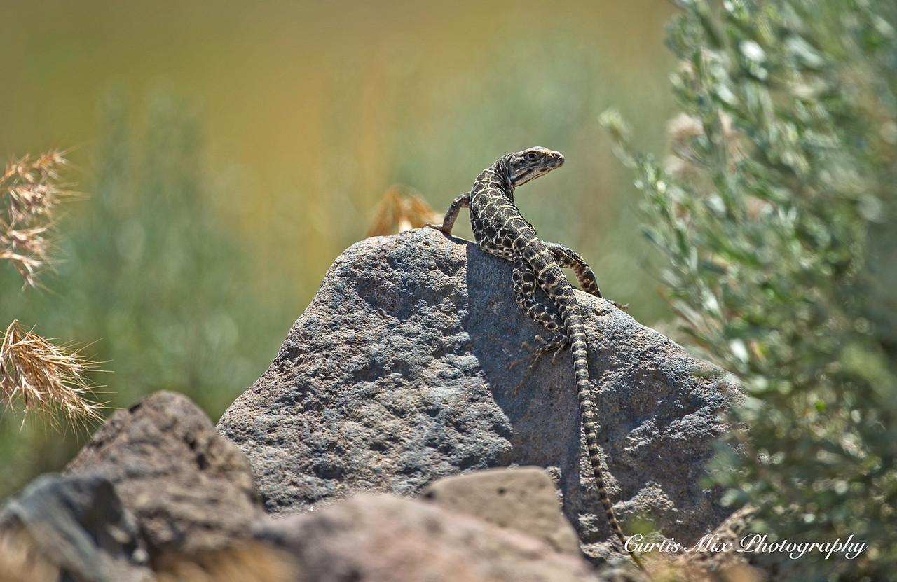 Long-nosed Leopard Lizard, Nevada.