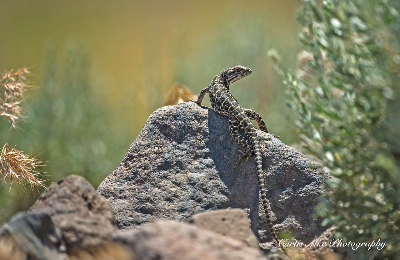 Long-nosed Leopard Lizard, Nevada.