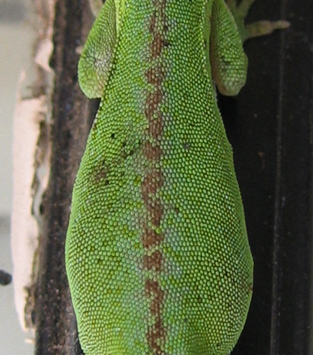 Close-up of the back of a female green anole (Anolis carolinensis) (197_9719)
