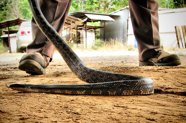 A captured Texas rat snake (a.k.a chicken snake; Elaphe obsoleta lindheimeri) trying to slither away (IMG_1965)