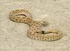 Prairie rattlesnake, Crotalus viridis, Colorado (4)