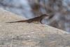 Lizard 0317-1