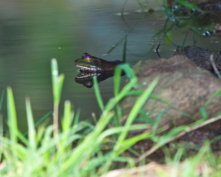 Frog in pond with reflection in water