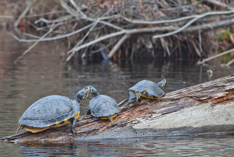 Turtles kissing on a log