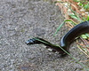 Black snake along Blue Ridge Parkway
