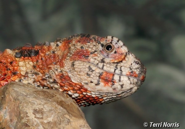 lizard_npn_5197