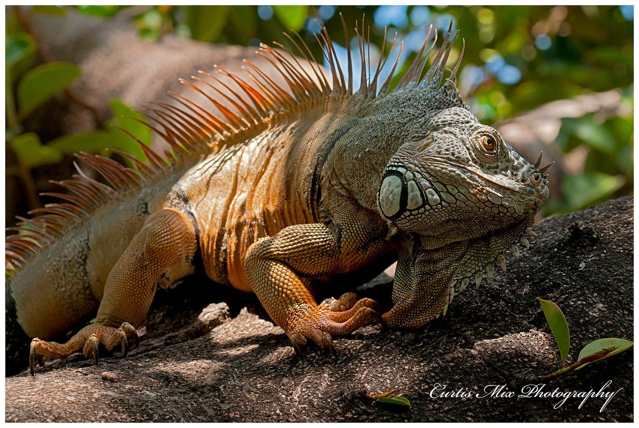 Green Iguana, Puerto Vallarta, Mexico.