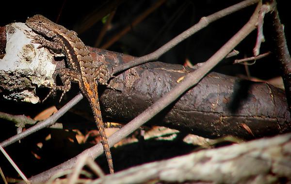 Texas spiny lizard (Sceloporus olivaceus) (20140408_09848)