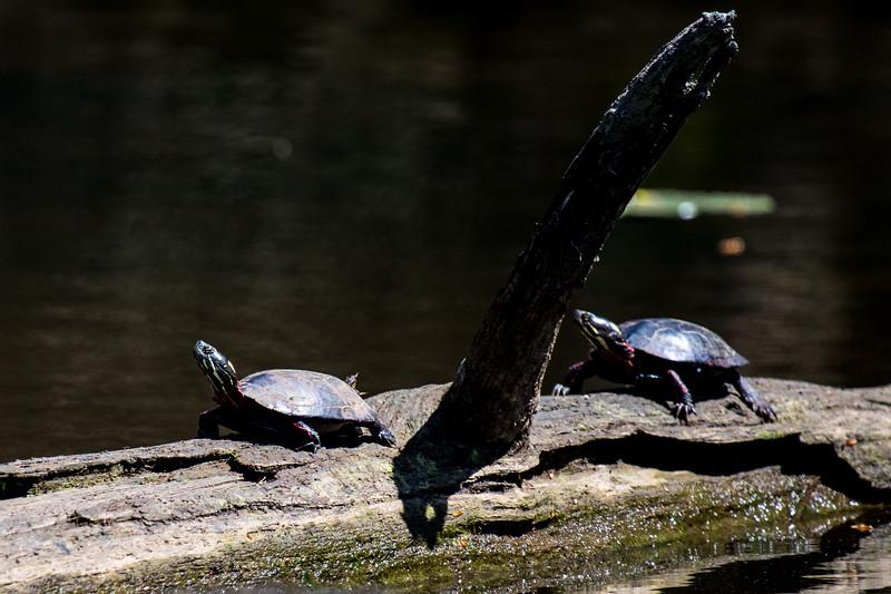 Turtles-28
