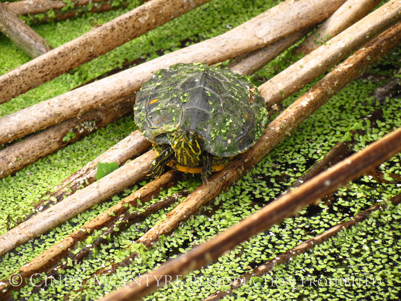 Turtle and duckweed, Wakodahatchee (3)