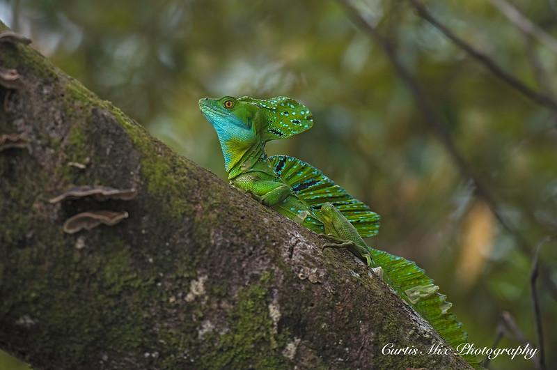 Green Basalisk, Tortuguero, Costa Rica.