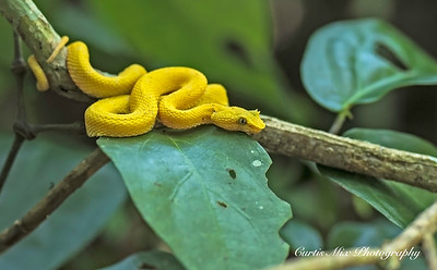 Eyelash Viper, Costa Rica.