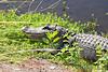 Big Gator closeup 2