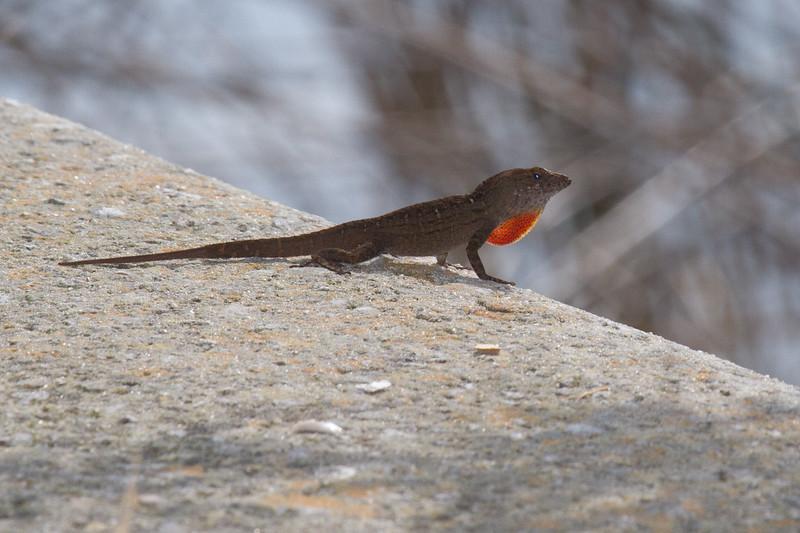Lizard 0317-3