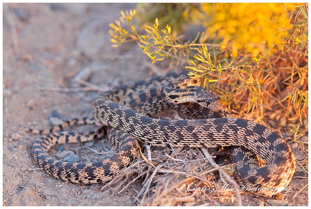 Gopher Snake, Oregon.