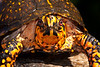 Box Turtle<br /> ANDI - found in July 26, 1998 in pole barn area, age at least 17.  Regularly seen until in Sumac meadow.  First turtle of the year 4 times.  Discovered dead on April 7, 2010.  Mountain Meadows Bedford Co. PA