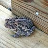 Fowler's toad (Anaxyrus fowleri)