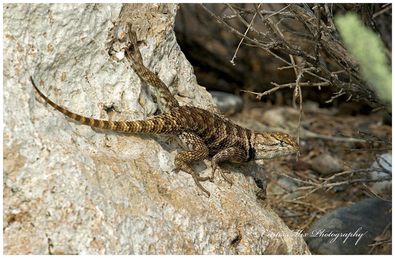 Spiney Lizard, Nevada.