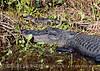 Alligator mama and baby CU, Lk Kissimmee FL
