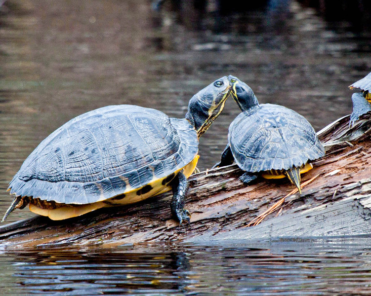 Yellow belly slider kissing on log
