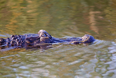 American Alligator - South Padre Island