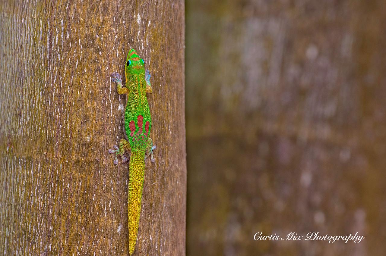 Day Gecko, Maui, Hawaii.