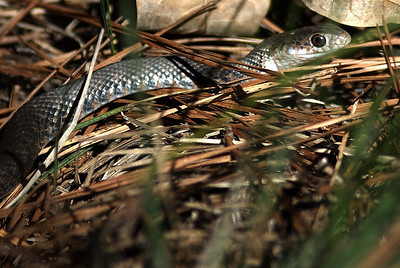 Young Coachwhip snake photographed at Lake Houston State Park