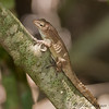 Puerto Rican Crested Anole - male<br /> (Anolis cristatellus cristatellus)