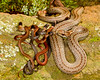 Northern Redbelly Snake<br /> Northern Redbelly Snake female with some of the 16 young born 7/22/12; young aoubt 3 inches long  Mountain Meadows Bedford Co. PA